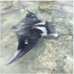 Fenomena Langka, Pari Manta Muncul Di Perairan Pulau Tunda