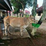 Polsek Abung Selatan Lampura Amankan Pelaku Diduga Pencuri Ternak