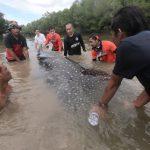 Alami Disorientasi, Hiu Paus Sepanjang 3,2 Meter Dievakuasi dari Aliran Sungai Kota Kendari