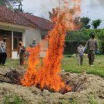 Ilegal, 700 Kilo Daging Celeng Dimusnahkan Balai Karantina Pertanian Lampung