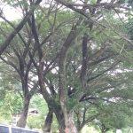 Membahayakan, Ranting Pohon Patah Tepat di Depan Kantor Bupati Tanggamus