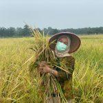 Panen Raya di Guyur Hujan, Dwita Ria : InsyaAllah pertanda Kemakmuran Petani Indonesia